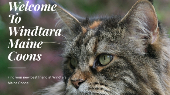Windtara Maine Coons breeder, Morganton, GA, cats, kittens,