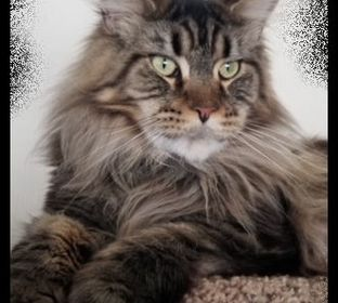 Windtara Maine Coons breeder, Morganton, GA, cats, kittens, cat lovers, cat breeders